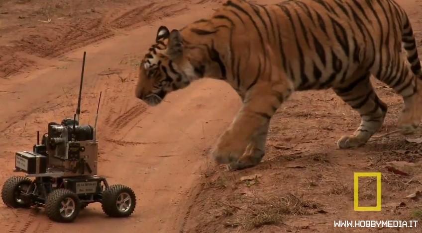 automodello-contro-tigre