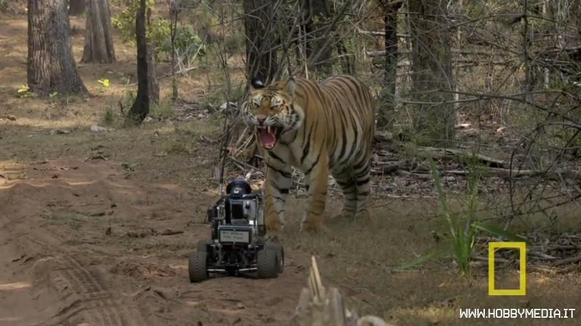 tigre-contro-automodello-rc-traxxas1