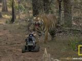 National Geographic: Automodello RC contro una tigre!